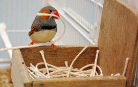 Este pájaro construye su nido en función de sus primeras vivencias