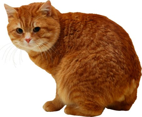 Gatos sacos anales