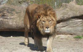 La historia evolutiva de los leones, al descubierto