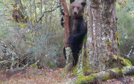 El oso pardo vuelve poco a poco a Galicia