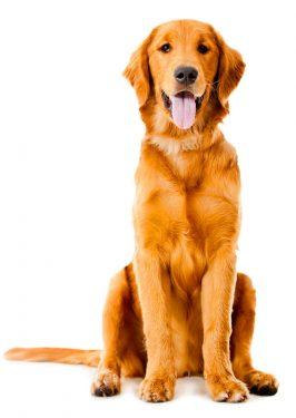 Perro sacos anales
