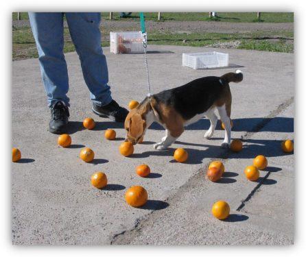 Perro detector Larva de los Frutos