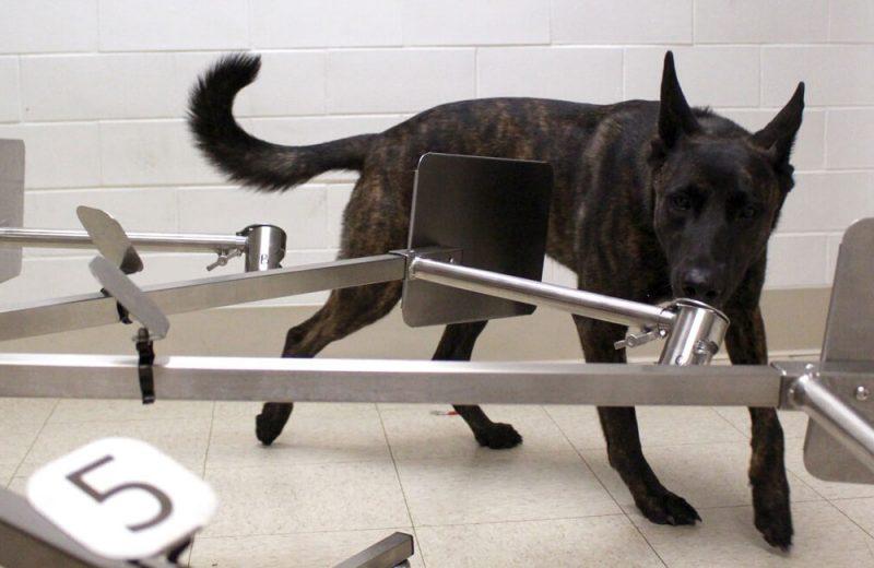 Perros detectores de Covid-19