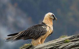 Los Pirineos albergan mil ejemplares de quebrantahuesos