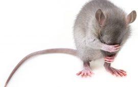 Las ratas pueden identificar el «cumpleaños feliz»