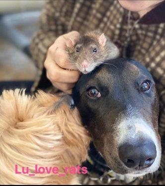 Ratas con perros