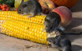 Así conquistó el ratón los hogares humanos !una relación de mucha comida!