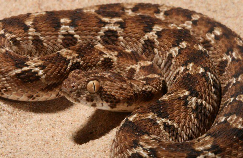 Un nuevo tratamiento de intervención temprana podría neutralizar el veneno de las serpientes