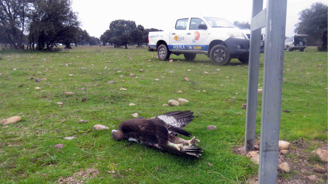 Cadáver del águila de Bonell