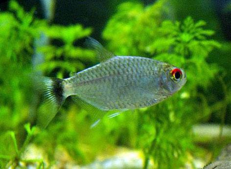 Varios nombres para un mismo pez: hablamos del Tetra de Ojos Rojos
