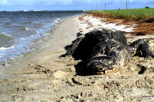 Aligator de Florida