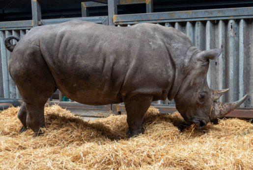 Rinocerontes blancos del norte