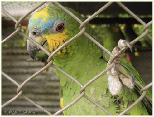 Amazona Amazónica