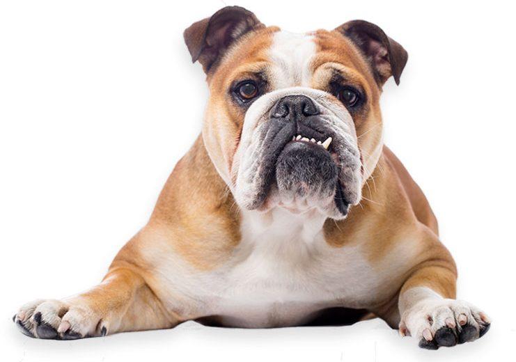Perros branquicefálicos, roncar no es bueno