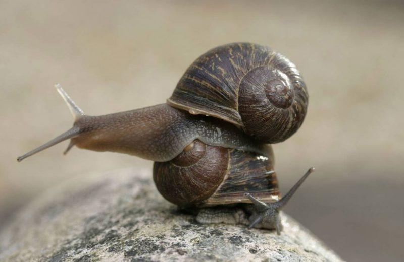Esta es la historia de Jeremy, el caracol zurdo que solo tuvo crías diestras