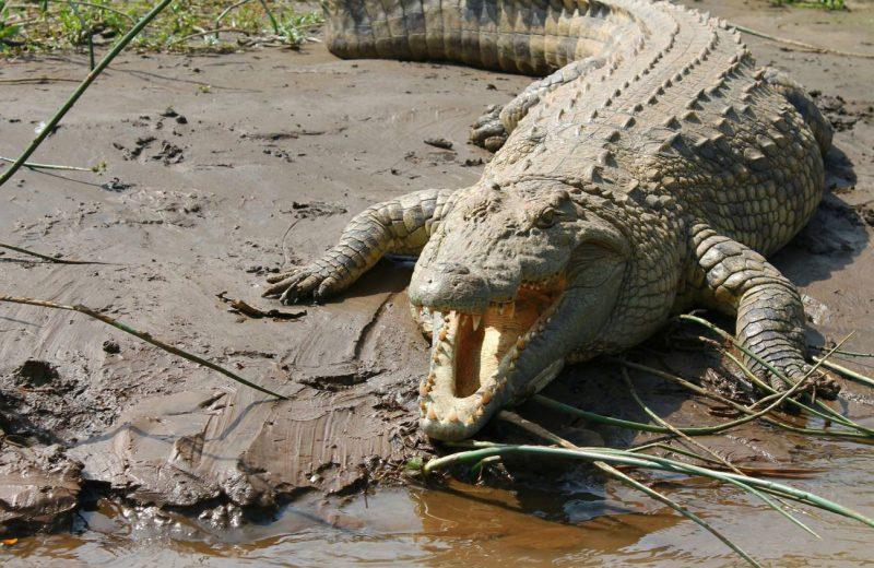 Así sobreviven cocodrilos y otros reptiles fuera de su hábitat natural