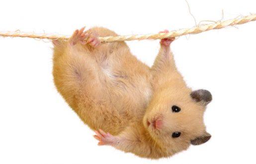 Cuerda roedores