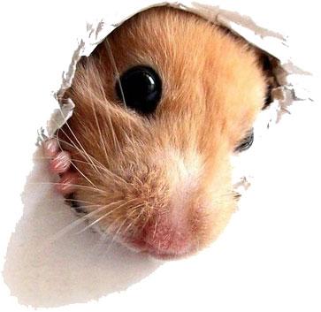Enriquecimiento ambiental roedores - Hamster