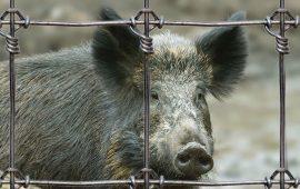 Podemos denuncia la contradicción de permitir la caza por daños y autorizar la liberación de jabalíes criados en granjas