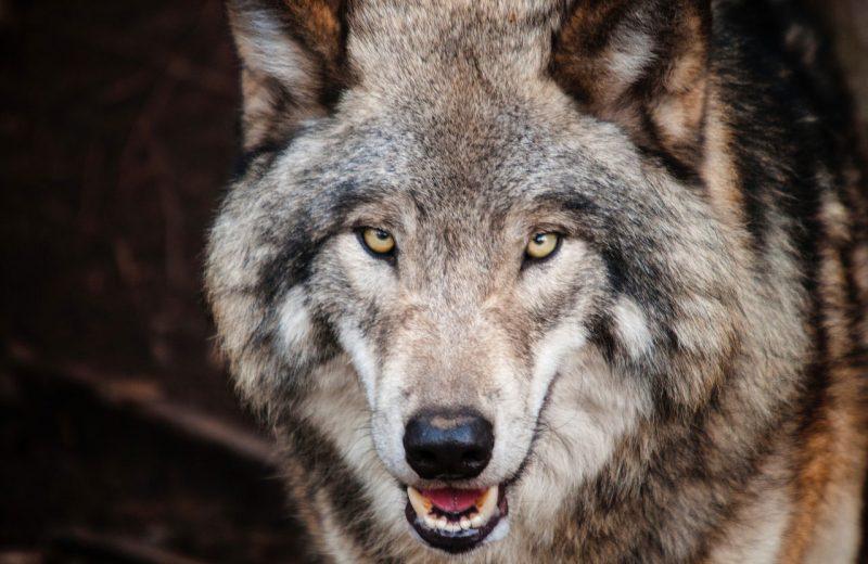 Los ciudadanos de la UE defienden a los lobos