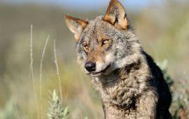 Salvando al último lobo de la provincia de Álava