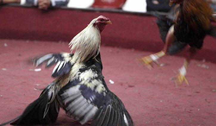 La Guardia Civil detiene e investiga a 40 personas por la celebración de peleas clandestinas de gallos en Valdehúncar (Cáceres)