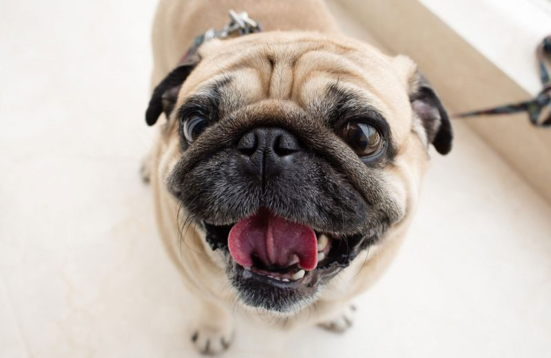 Pug - Perro branquicefálico