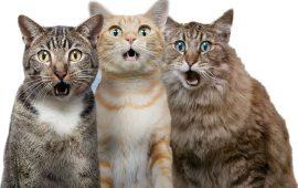 Curiosidades y particularidades de los gatos