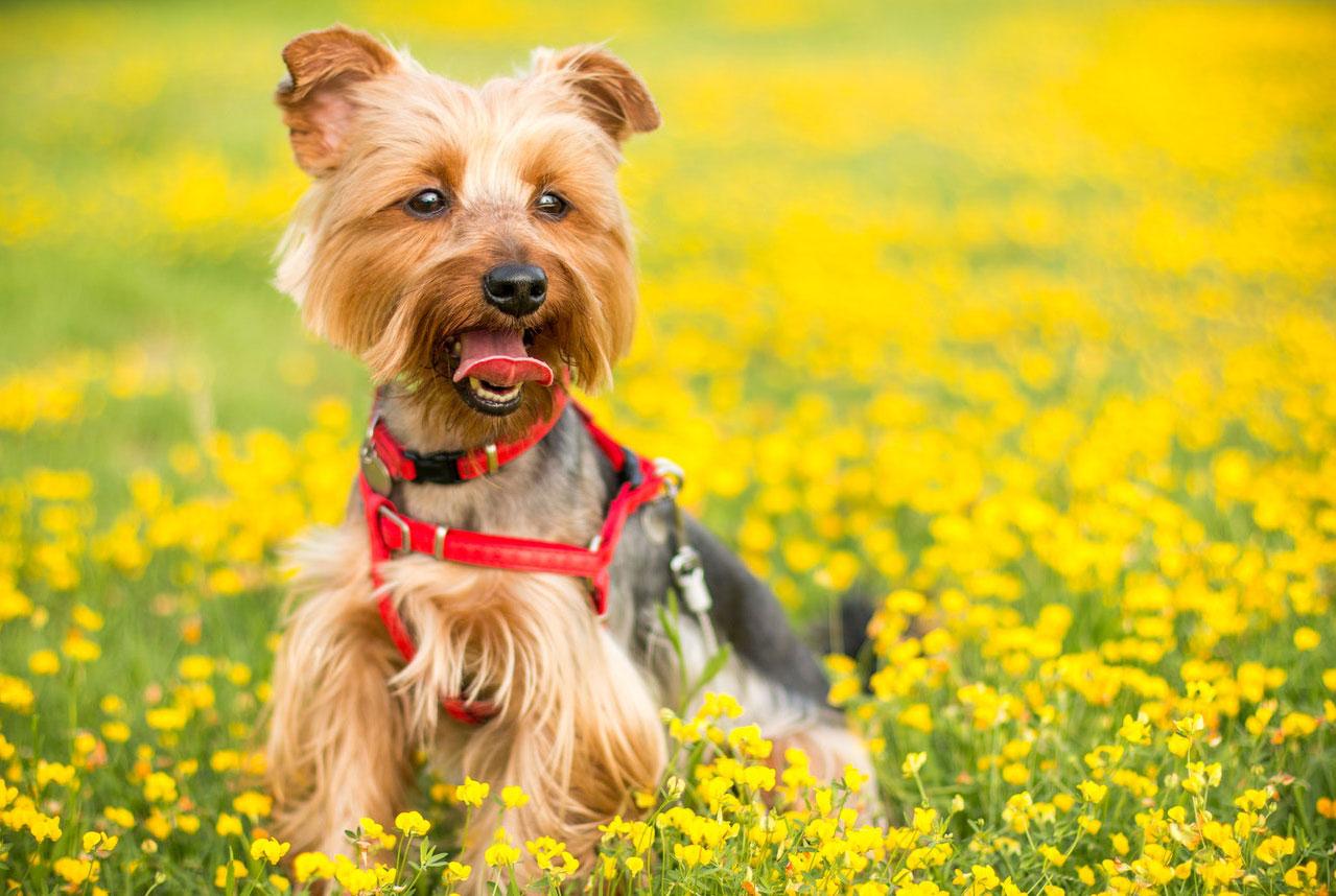Campo perros - Yorkshire