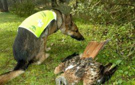 Entre 1992 y 2017, se ha confirmado la muerte por consumo de cebos envenenados de 21.260 animales