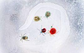Los ácaros acuáticos, futuros 'guardianes' de la salud humana