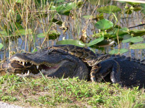 Aligator atacando a pitón birmana