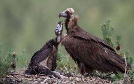 El ruido del tráfico de las carreteras altera la calidad del hábitat del buitre negro