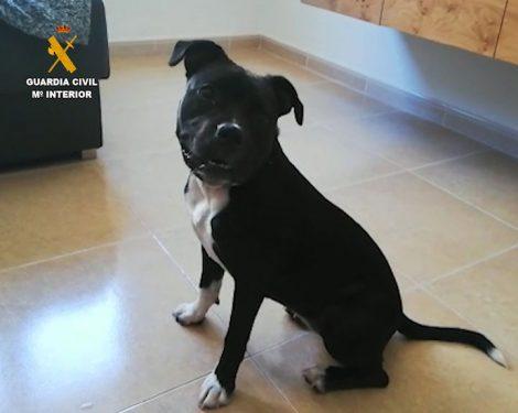 American Staffordshire Terrier - Cachorra recuperada