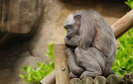 Las canas no reflejan la edad de los chimpancés