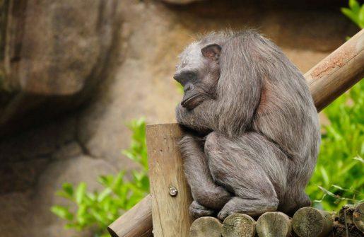 Chimpancé canoso