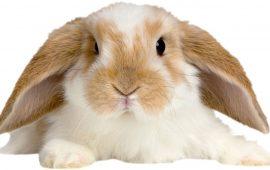Los conejos de orejas caídas son más propensos a sufrir problemas de oído y dentales