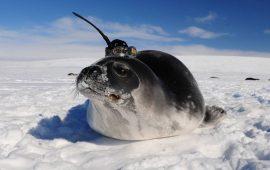Las focas ayudan a descubrir desconocidas corrientes del océano Antártico
