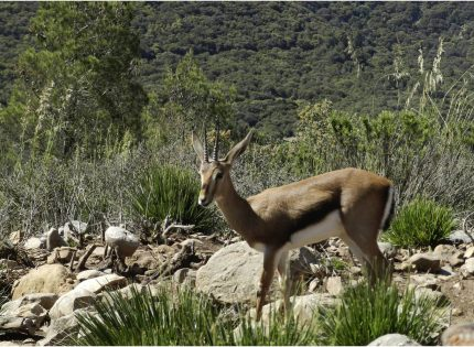 La reintroducción de gacelas de Cuvier recupera la especie en su hábitat natural