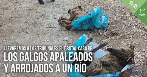 Pacma llevará los tribunales el caso de los tres galgos apaleados y arrojados a un río en Sevilla