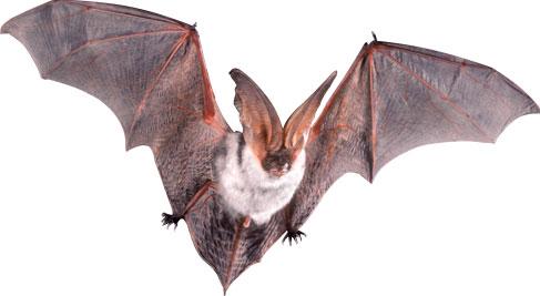 Revelada la base genética de los superpoderes de los murciélagos