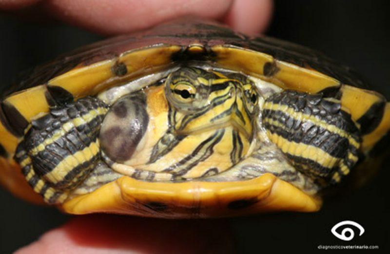 Otitis en tortugas