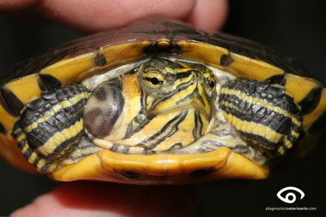 Otitis en tortuga de agua