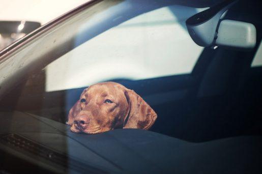 Perro solo en coche