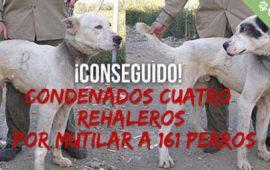 Condenados los rehaleros por amputación de orejas sin anestesia ni asistencia veterinaria a 161 perros
