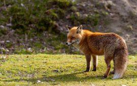 Detectan por primera vez parásitos de humanos en zorros rojos de Galicia