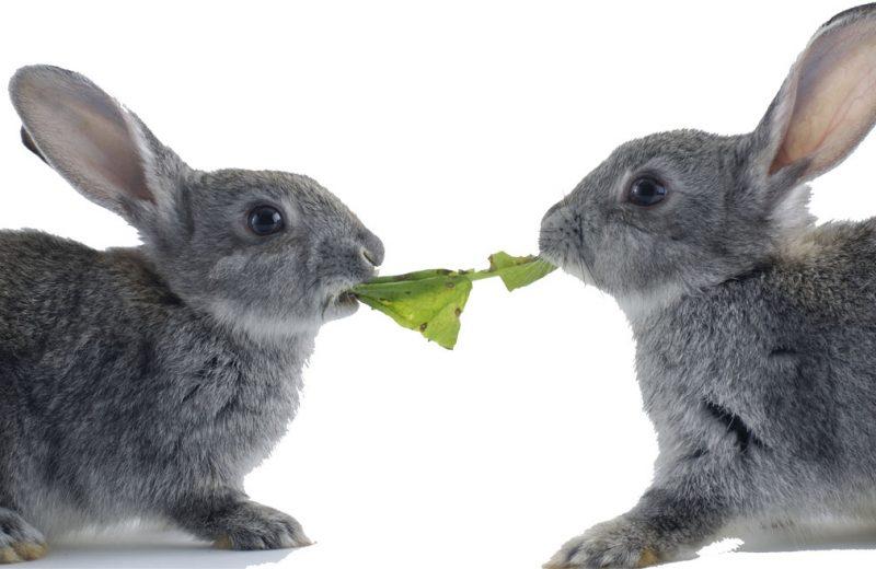 Conejo comida