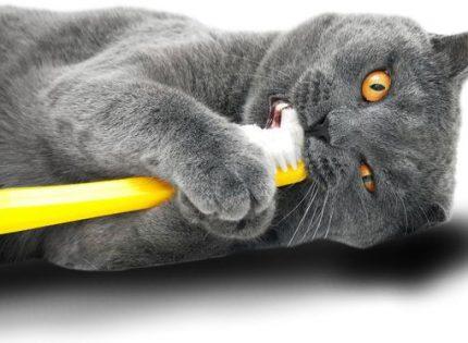 ¿Qué es la resorción dental en gatos?