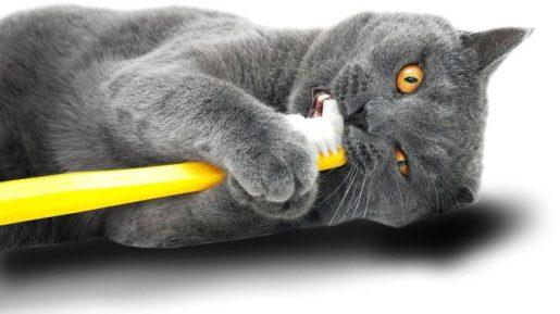 Higiene dental felina - resorción dental felina