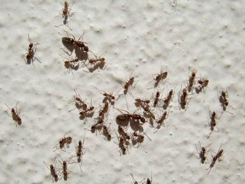 Hormiga argentina - Linepithema humile